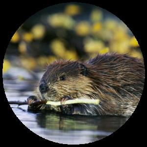 DCW-Animals_Beaver
