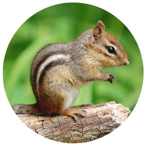 DCW-Animals_Chipmunk