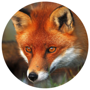 DCW-Animals_Fox