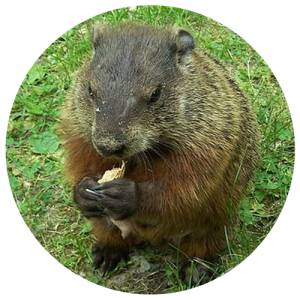 DCW-Animals_Groundhog
