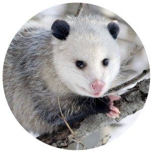DCW-Animals_Opossum
