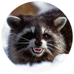 DCW-Animals_Raccoon