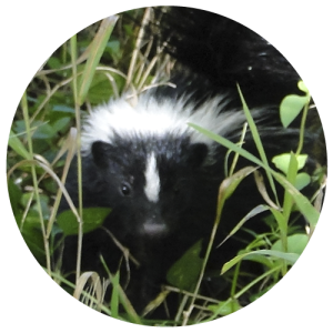 DCW-Animals_Skunks