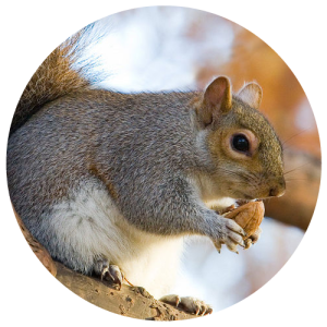 DCW-Animals_Squirrel