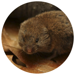 DCW-Animals_Vole