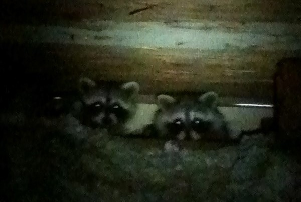 DCW Raccoons in Attic (800)