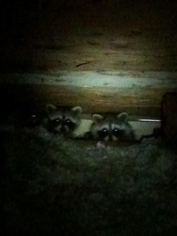 DCW Raccoons in Attic (800)