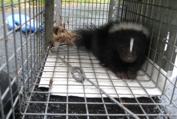 DCW - Skunk in Cage (800)