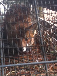 DCW caged fox (800)