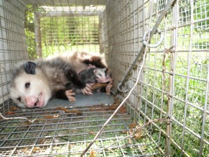 DCW possum with babies in cage (800)