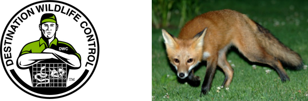 Foxes - Destination Wildlife Control - The Master Trapper