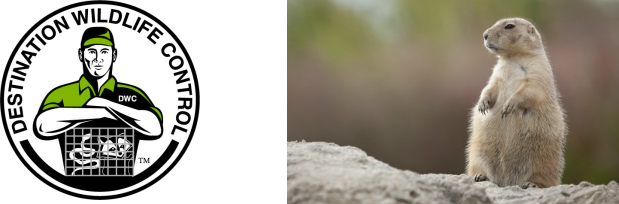 Groundhogs - Destination Wildlife Control - The Master Trapper