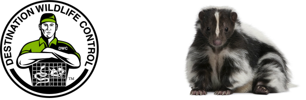 Skunks use their odor for protection - skunk striped visit property signs master trapper wildlife control expert help